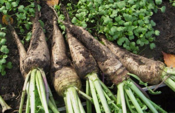 Редька «Клык слона»: характеристика, описание, история селекционирования гибрида китайского овоща, а также когда сажать, какова урожайность, для чего применяется?