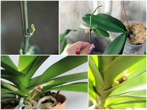 Детки на орхидее: что это такое, почему цветок их дает, как они выглядят на фото на корнях или стебле, и как правильно взять отростки?