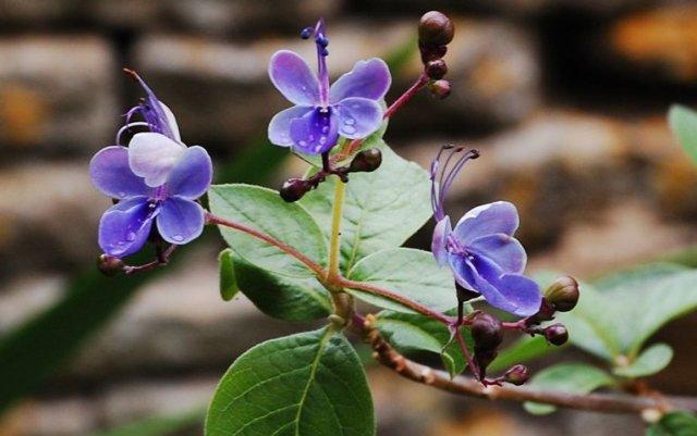 Клеродендрум угандийский: описание и фото растения с голубыми цветами, уход за ним в домашних условиях
