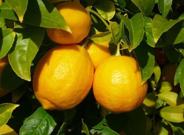 Лимон при подагре: можно ли есть или нет, несет пользу или вред, как употреблять для лечения?