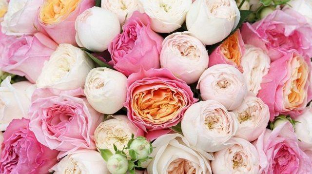 Пионовидная роза: что это такое и как называется, а также фото кустового цветка, белые, красные, бордовые сорта Джульетта и другие, размножение и уход за саженцами