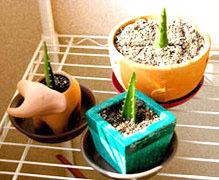 Как размножить алоэ правильно: способы разведения, посадка и уход за цветком в домашних условиях, чтоб был большим и красивым, укоренение и выращивание в горшке