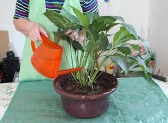 Как поливать спатифиллум: как часто в домашних условиях следует орошать цветок Женское счастье, чем именно и сколько раз в неделю?