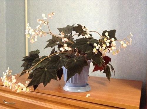 Бегония Клеопатра: фото комнатного растения, его описание и история возникновения, а также о том, как посадить, поливать, ухаживать и бороться с болезнями