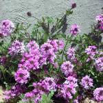 Вербена: посадка и уход за этим многолетним травянистым растением, фото, а также нюансы выращивания в открытом грунте и в домашних условиях