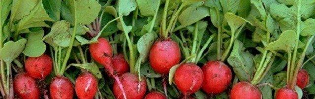 Выращивание редиса: секреты агротехники и ухода, за сколько можно вырастить хороший и крупный урожай, как правильно ухаживать и прореживать в открытом грунте и нет?