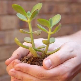 Как заставить цвести денежное дерево в домашних условиях в горшке: почему нет бутонов на толстянке, что нужно сделать, чтобы их добиться и как правильно ухаживать?
