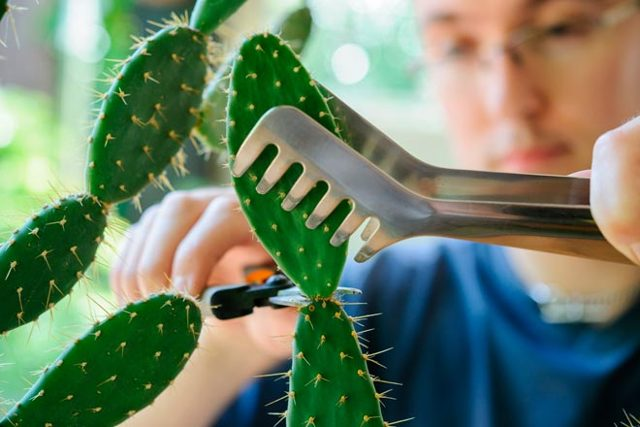 Как размножить декабрист в домашних условиях: фото и инструкция, как развести цветок шлюмбергеры из семян, черенков, а также как взять и привить отросток кактуса