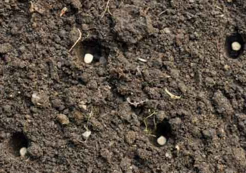 Сажать редиску ранней весной: посадка в открытый грунт семенами и советы, как сеять правильно, подготовка к посеву и дальнейший уход