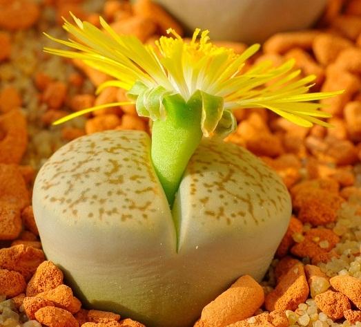 Конофитум (conophytum): в какой части растения расположена водозапасающая паренхима, а также разнообразие цветущих видов и уход за