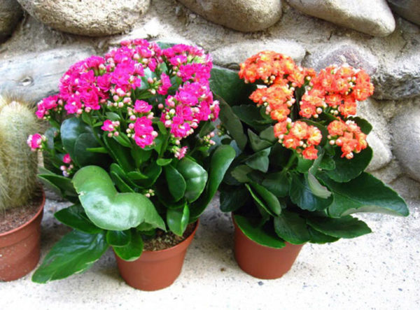 Каланхоэ садовое (уличное), в том числе растущее в открытом грунте: что это, какие есть разновидности, каковы особенности ухода, вид на фото