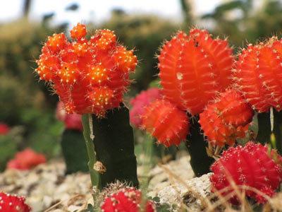 Комнатное растение Гимнокалициум саглионис: ботанические характеристики сальона и описание ухода за gymnocalycium saglionis