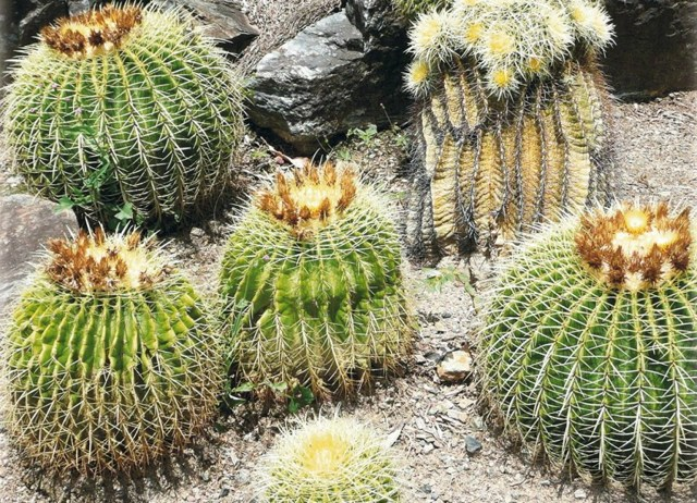 Кактус без колючек: фото и названия всех видов цветка с отсутствием иголок - похожих на коралловый куст, ветвящихся и свисающих, плоской, треугольной, иной формы