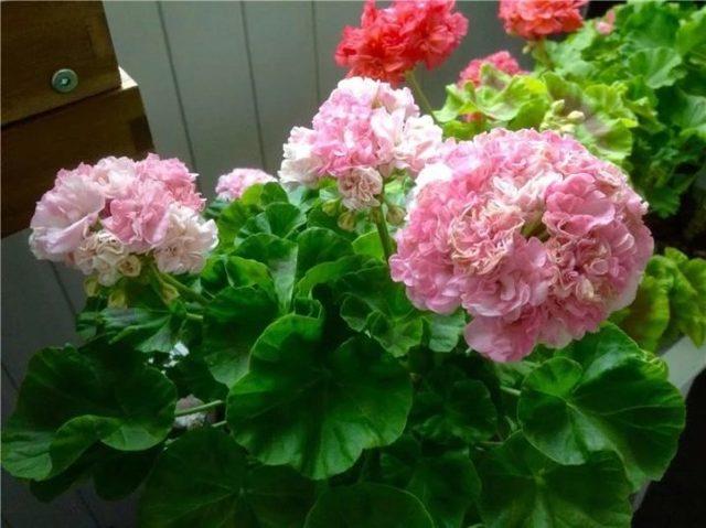 Пеларгония Юг Шукар, Варвара Краса, Нина, Камалия: правила ухода и размножения, а также фото домашнего растения