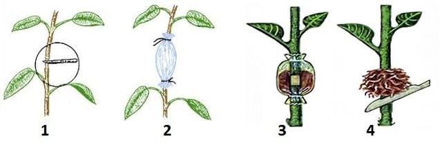 Размножение роз: как правильно сажать отводками кустовые виды, какие еще методы существуют, в чем особенности процедуры зимой?