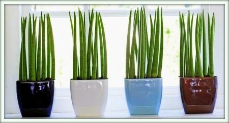 Уход в домашних условиях за сансевиерией (сансевьерой): как поливать щучий хвост, чем подкармливать комнатное растение, какой нужен горшок, а также фото цветка