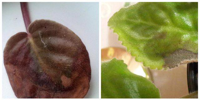 Вредители фиалок и болезни: погрешности в уходе, почему не растут цветы и желтеют листья, как лечить