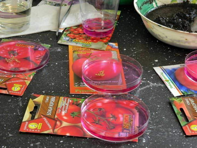 Замачивание семян томатов в соке алоэ перед посадкой: как приготовить смесь и провести процедуру проращивания будущих помидоров, есть ли еще способы обработки?