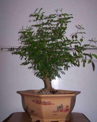 Гранат из косточки: фото и рекомендации, как правильно посадить семена в открытый грунт и организовать уход, чтобы выросло дерево
