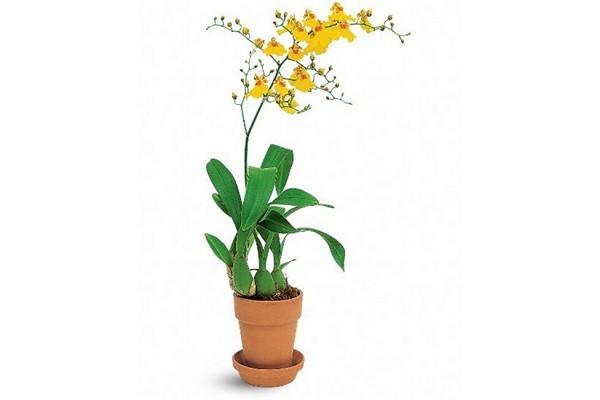 Орхидея онцидиум: описание, история возникновения, уход в домашних условиях, а также фото популярных сортов, таких как Твинкл, Свит Шугар и других