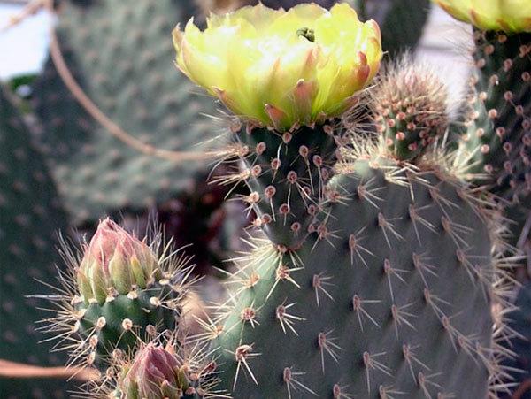 Опунция: названия видов, фото и описание всех сортов кактуса - Бергера, Монаканта, Субулата, nana, Цилиндрический, Обыкновенный, Вариегатный, Садовый и другие