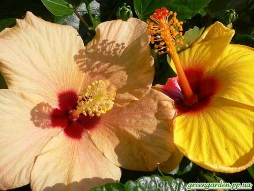 Гибискус травянистый: фото, посадка и уход в домашних условиях и в открытом грунте, особенности выращивания и размножения семенами и черенками