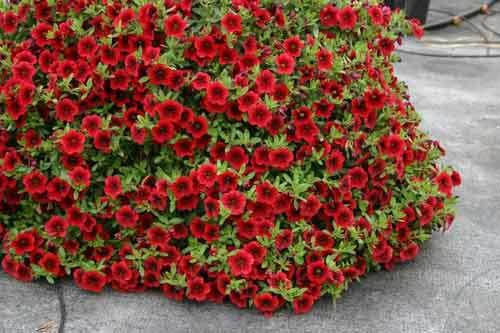 Петуния: что это за растение, его описание и фото, сколько и как живет в вазоне на балконе и в горшке на улице и как выглядят цветы помельче, похожие на нее?