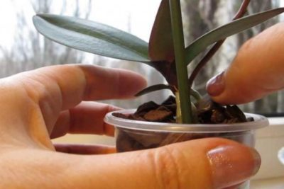 Детка на цветоносе орхидеи: можно ли получить в домашних условиях кейк из почки, фото отростка, что делать, когда он появился, как отделить его от матери?
