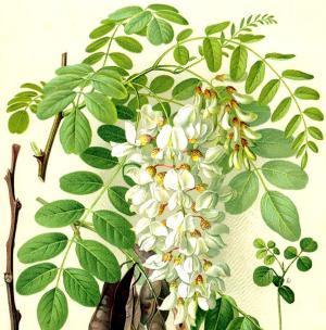 Лечебные свойства цветов белой акации: какими полезными качествами обладает растение, для чего его применяют в гомеопатии и каковы противопоказания?