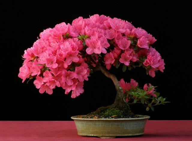 Пересадка азалии после покупки в магазине: как правильно это сделать с цветущим растением, а также какой уход нужен цветку в домашних условиях?