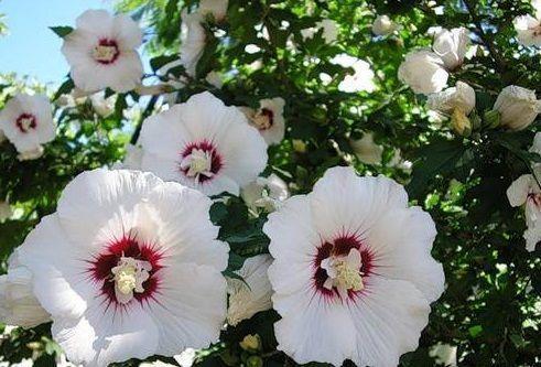 Белый гибискус: фото и описание сортов растения, уход и особенности размножения, болезни и вредители, а также какие есть похожие цветы?