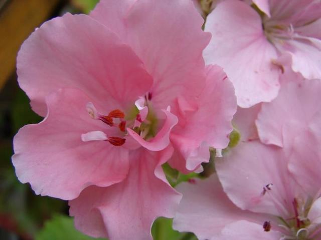 Королевская герань: размножение черенками и семенами в домашних условиях, как и когда это делается, фото процедуры, а также нюансы последующего ухода