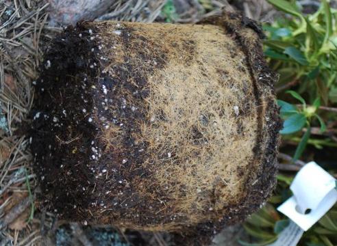 Азалия: как укоренить рододендрон, описание системы его подземных вегетативных органов, их вид на фото, причины, по которым веточки не подают признаков жизни