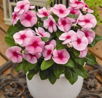 Катарантус: что это за цветок, его фото, выращивание и посадка растения в домашних условиях, как комнатного и в саду на клумбе