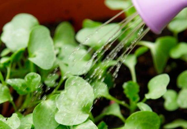 Как поливать редиску после посадки в домашних условиях, в теплице и в открытом грунте: как часто и чем подкармливать во время процедуры, чтобы быстрее росла?