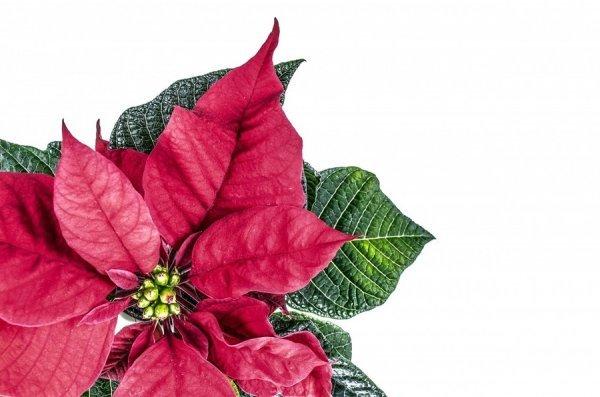 Как ухаживать за красной пуансеттией в домашних условиях: фото комнатного цветка, его польза и вред, а также советы, как размножить и содержать после покупки