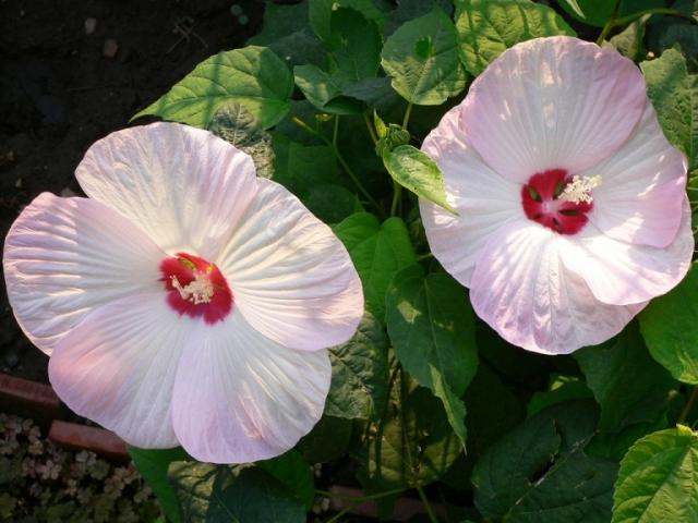 Гибискус и каркаде: это одно и то же или нет, чем отличаются, как выглядит на фото китайская роза, какова разница между сортами цветка и выращивание культуры дома