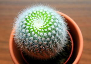 Алое: описание внешнего вида, фото комнатного растения в домашних условиях в горшке и в природе, его цветов, а также какое второе его название, кактус это или нет?