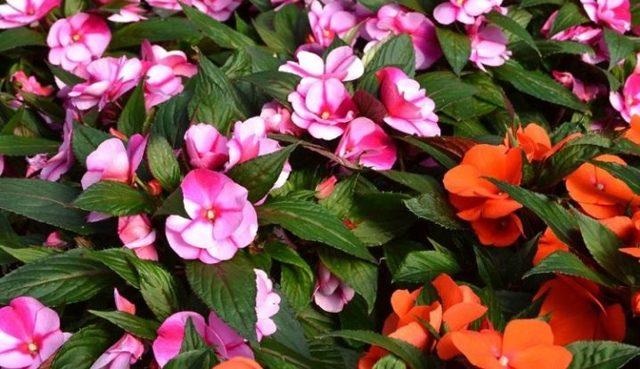 Бальзамин садовый: выращивание из семян, фото вида, особенности пересаживания рассады и нюансы ухода в домашних условиях