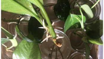 hoya obovata (Хойя Обовата): описание видов растения, таких как Сплеш, Вариегата, а также их фото, способы выращивания и советы по уходу за растением