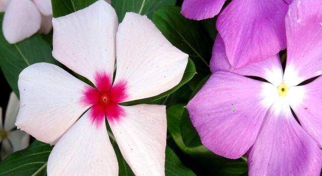 Катарантус ампельный: описание и фото разных подсортов, в том числе Титан, Медитерранеан и другие, выращивание цветка из семян и не только, а также уход за ним