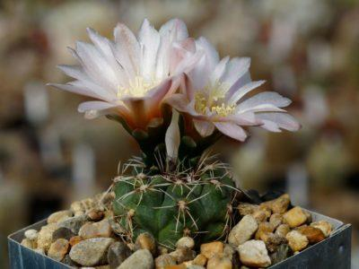 Комнатное растение Гимнокалициум обнажённый: особенности представителя суккулентов, именуемого Денудатум, и его домашнее содержание