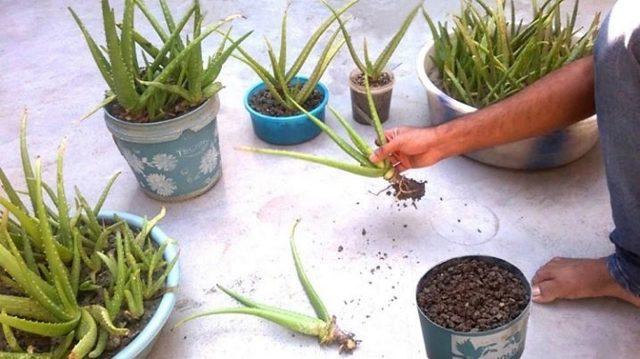 Как вырастить алоэ из листа: хватит ли одного, как срезать, отделив от стебля, можно ли посадить цветок без корня, и таким образом, размножить в домашних условиях?