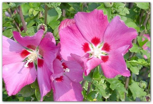 Уход за садовым гибискусом: фото древовидного растения, особенности полива, подкормки, обрезки кустарника, а также когда и как пересаживать?