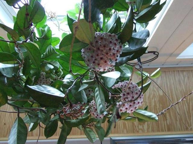 Можно ли держать дома восковой плющ: фото и описание хойи, почему иногда считают, что цветок нельзя растить в квартире