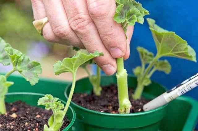Королевская герань (пеларгония): фото и названия сортов, домашнее размножение семенами, как укоренить черенки пеларгонии, можно ли высаживать на улицу?