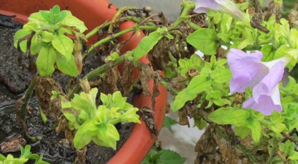Почему желтеют листья у петунии в горшках и в кашпо и что делать, если сохнет нижняя часть куста: как бороться с проблемой и чем подкормить растение?