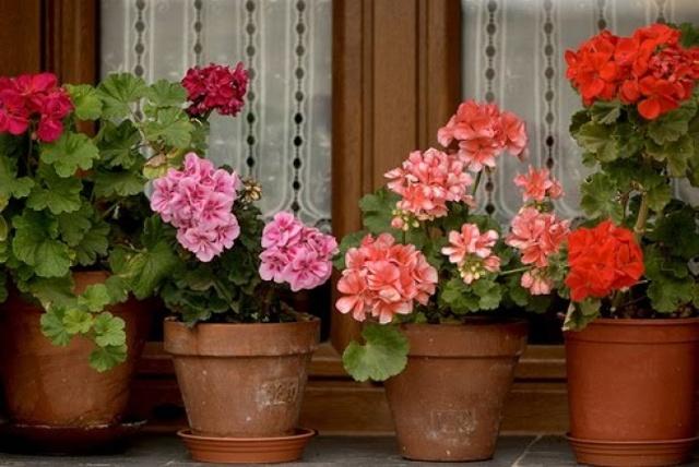 Как пересадить герань в домашних условиях и в открытый грунт: алгоритм действий летом или зимой пошагово с фото, а также как правильно провести последующий уход