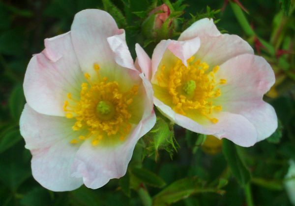 Парковые розы, не требующие укрытия на зиму, а также другие самые морозоустойчивые и неприхотливые сорта, в том числе Спрей и цветущие всё лето