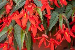 Бегония боливийская: как правильно высаживать, ухаживать и размножать из семян этот цветок, фото популярных видов, таких как - Санта Круз, Копакабана и других сортов